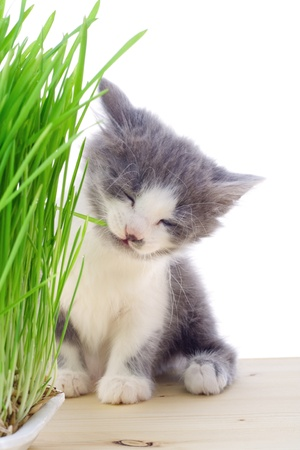 Kitten eating the grass, isolated on white Stock Photo - 12353553