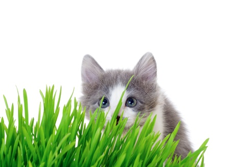 Kitten peeking out of the grass, isolated on white photo