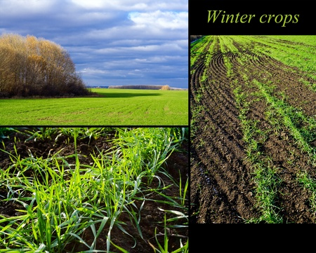 sprouting: Set of three photos of winter crops