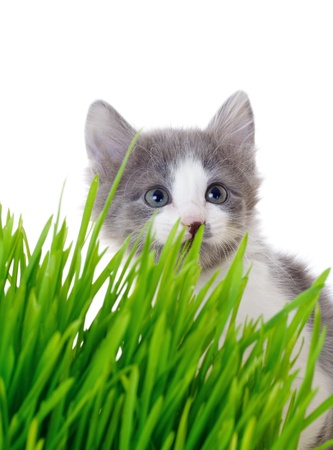 'hide out': Kitten peeking out of the grass, isolated on white Stock Photo