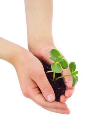 Green sprouts in child s hands, isolated on white photo