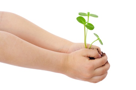 handful: Green sprouts in child s hands, isolated on white