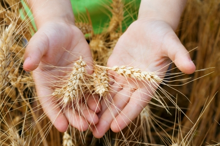 Wheat ears in the child hands, harvest concept photo