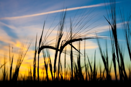 early summer: Ears of ripe wheat against sunset