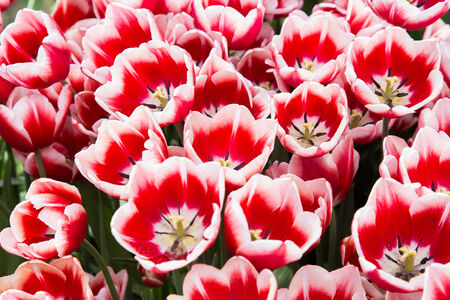 spring natural background with bunch of red tulips photo