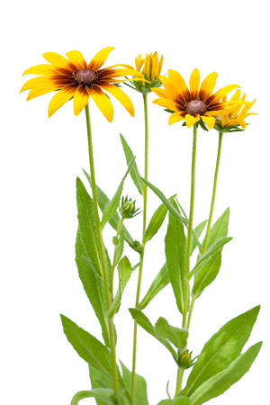 bright eyed: Yellow flower of Rudbeckia hirta or Black Eyed Susan with stem, isolated on white