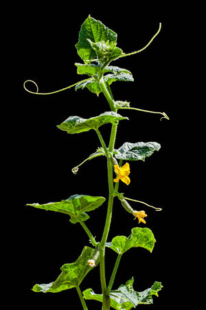 Young cucumber branch isolated on black background photo