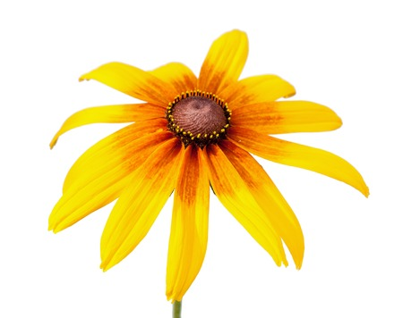 eyed: Yellow flower of Rudbeckia hirta or Black Eyed Susan with stem, isolated on white