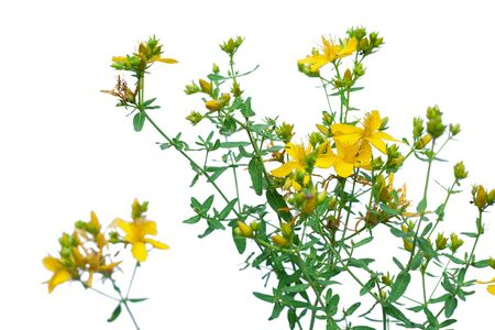 hirta: Yellow flower of Hypericum or St. Johns wort, isolated on white