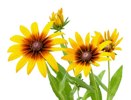 Yellow flower of Rudbeckia hirta or Black Eyed Susan with stem, isolated on white photo