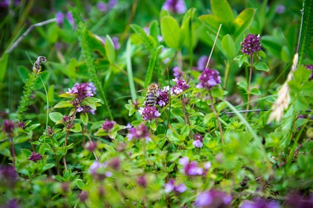 thymus: Wild Thymus with bee, blossoming on meadow Stock Photo