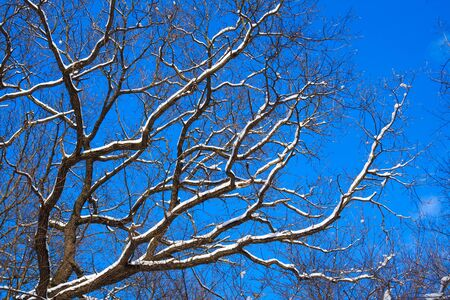 covered in snow: Oak-tree branches covered snow and frost against blue sky