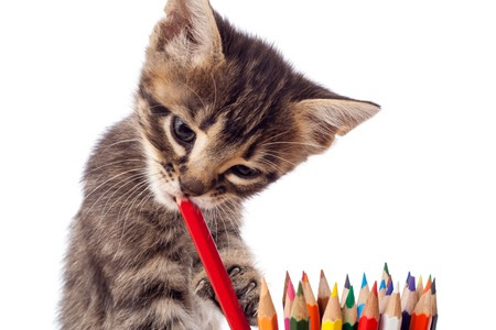 baby  pussy: Tabby kitten chewing red pencil, isolated on white