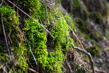 dampness: Green moss on stone in the forest, natural background with shallow focus