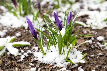 Paarse krokussen onder de sneeuw. Natuurlijke bron achtergrond met ruimte voor tekst Stockfoto