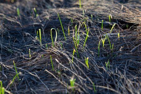 quemado: hierba verde en hierba quemada en el campo, natural de fondo abstracto Foto de archivo