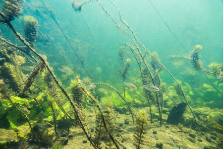 freshwater aquarium plants: Underwater river landscape with algae and little fish