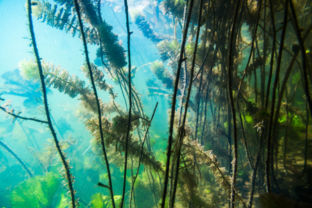 freshwater aquarium plants: Underwater river landscape with algae in muddy water