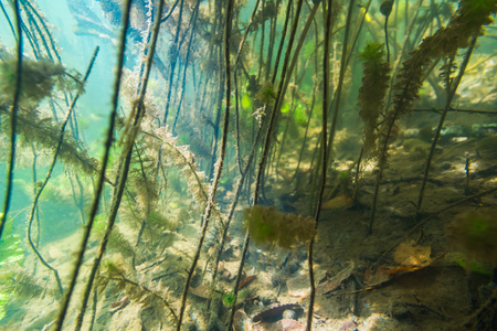 freshwater aquarium plants: Underwater river landscape with algae in muddy water