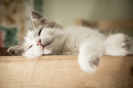 Closeup portrait of sweet sleep white cat Stockfoto