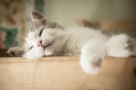 durmiendo: Retrato del primer de dulce sueño gato blanco