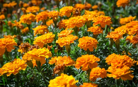 tagetes: Orange French marigolds on the bed, floral natural background Stock Photo