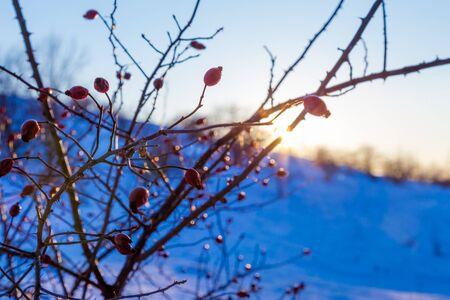 serene landscape: serene cold winter landscape with briar branches against sunset