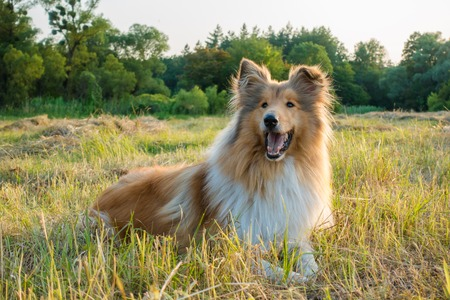 Collie dog looking on green field at sunlight Stock Photo