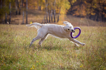 golden retriever running on field with puller Stock fotó