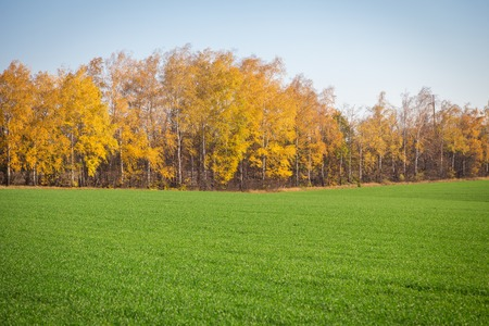 autumn landscape with winter crops and yellow trees