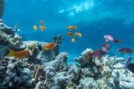 Underwater coral reef with group of tropical fish 版權商用圖片
