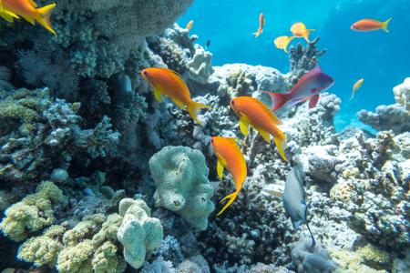 Arrecife de coral submarino con grupo de peces tropicales