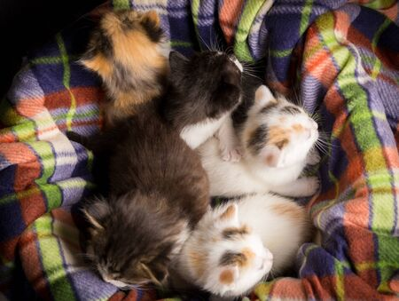 five little white tricolor kittens sitting on the nest at the color plaid Imagens
