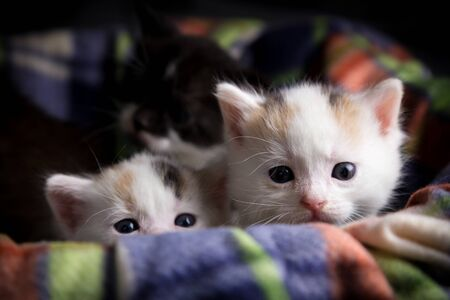 Two little white tricolor kittens sitting on the color plaid Imagens