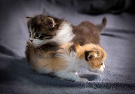 Two tricolor kittens crwaling together on gray background