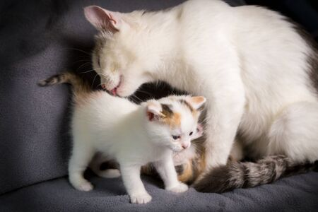 White cat mom licks her white kitten on gray background Imagens