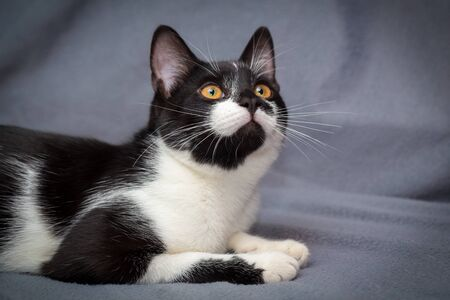 Little black and white kitten on gray background looks up Imagens