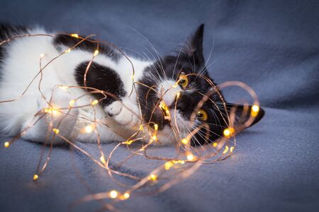 Little black and white kitten playing with festive garland light
