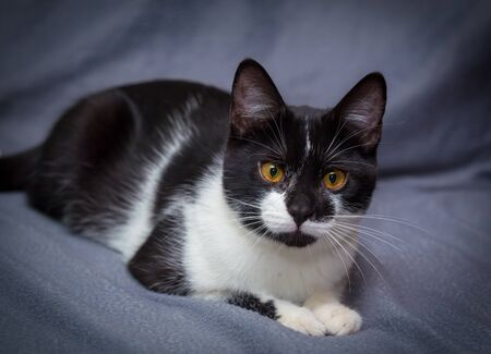 Little black and white kitten on gray background