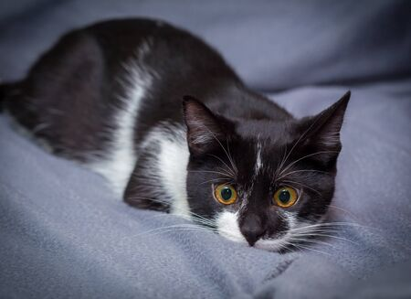 Little black and white kitten on gray background hunting for