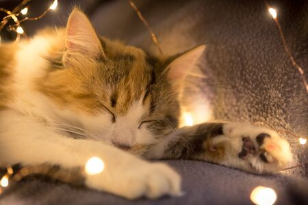 Little tricolor kitten sleeping with festive garland lights