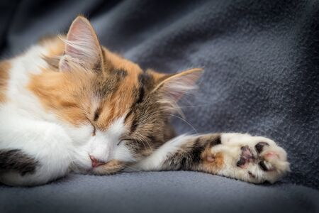 Little sweet tricolor kitten sleeping on gray background