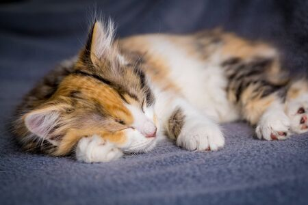 Cute little tricolor kitten sleeping on gray background
