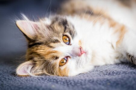Cute little tricolor kitten with yellow eyes lying down on gray background and looking to camera