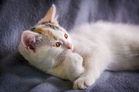 Cute little white kitten with yellow eyes lying down on gray background