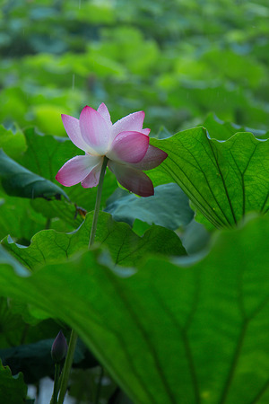 close up to a lotus in the lotus pond Stock Photo