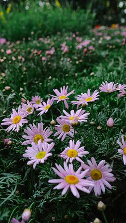 Purple Daisy Prince Bay in spring Stock Photo