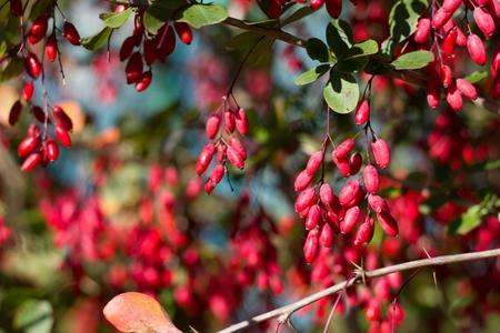 barberry: Ripe berries of barberry, autumn spices