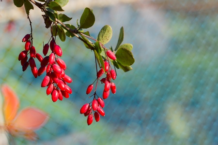 Ripe berries of barberry, autumn spices photo