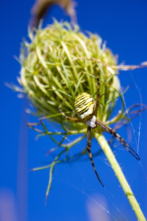 strikingly: The genus Argiope includes rather large and spectacular spiders that often have a strikingly coloured abdomen  These spiders are distributed throughout the world  Most countries in tropical or temperate climates host one or more species that are similar i